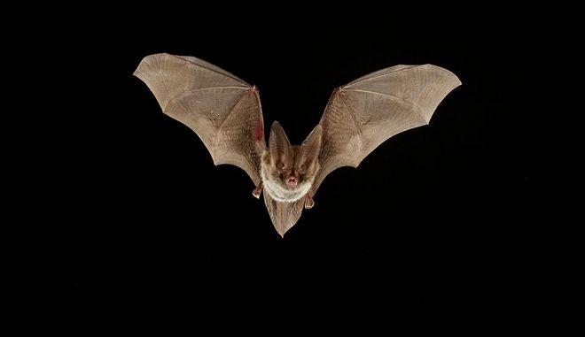 Οι επιστήμονες ψάχνουν στις νυχτερίδες το μυστικό της μακροζωίας