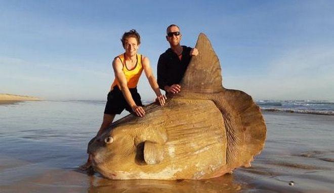 Το πελώριο sunfish που ψάρεψαν στη Νότιο Αυστραλία