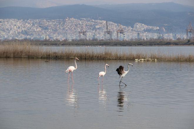 Φωτογραφίες: Φλαμίνγκο απελευθερώθηκαν στη λιμνοθάλασσα Καλοχωρίου