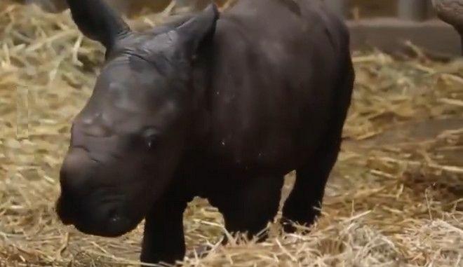 """Βίντεο: Σπάνιος λευκός ρινόκερος που γεννήθηκε στο Βέλγιο """"λιώνει"""" το διαδίκτυο"""