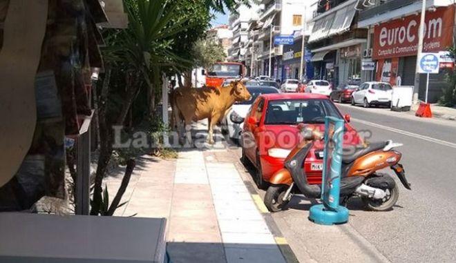 Απίστευτο περιστατικό: Κυνηγούσαν ταύρο στο κέντρο της Λαμίας