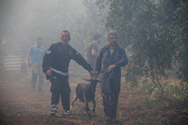 Για 2η ημέρα οι πυροσβεστικές δυνάμεις συνεχίζουν την μάχη για την κατάσβεση της μεγάλης πυρκαγιάς στην Εύβοια. Αναζωπύρωση κοντά στο χωρίο Μακρυμάλλη, προσπαθούν να σώσουν και τα ζώα των κατοίκων.