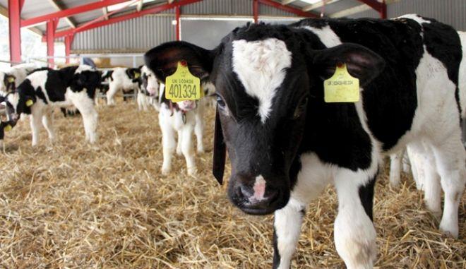 Σε καθολική σφαγή τα βοοειδή μονάδας στην Κοζάνη, λόγω μελιταίου πυρετού