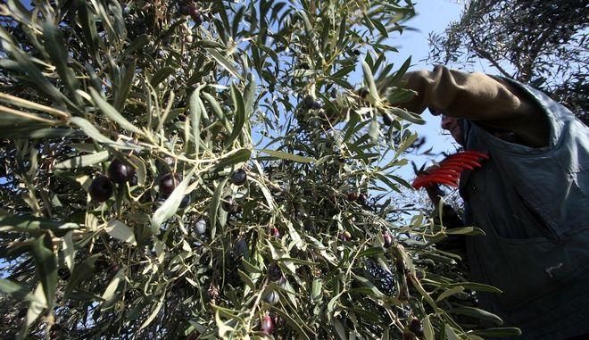 ΑΡΓΟΛΙΔΑ-Το μάζεμα των ελιών στο χωριό Φίχτια του Δήμου Άργους-Μυκηνών.(EUROKINISSI-ΒΑΣΙΛΗΣ ΠΑΠΑΔΟΠΟΥΛΟΣ)