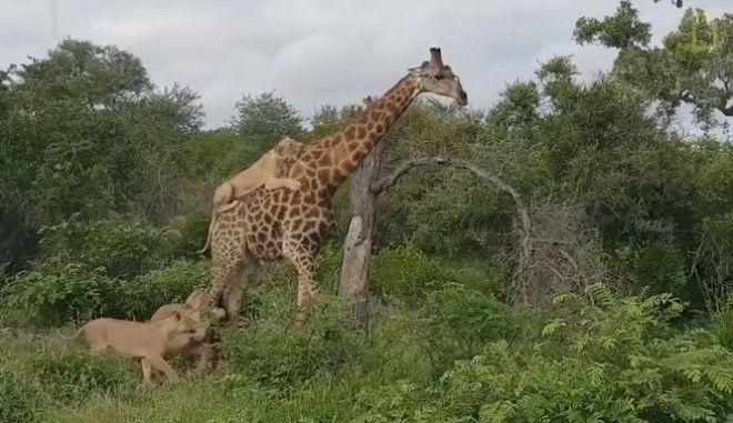 5ωρη μάχη επιβίωσης: Καμηλοπάρδαλη έρχεται αντιμέτωπη με αγέλη λιονταριών