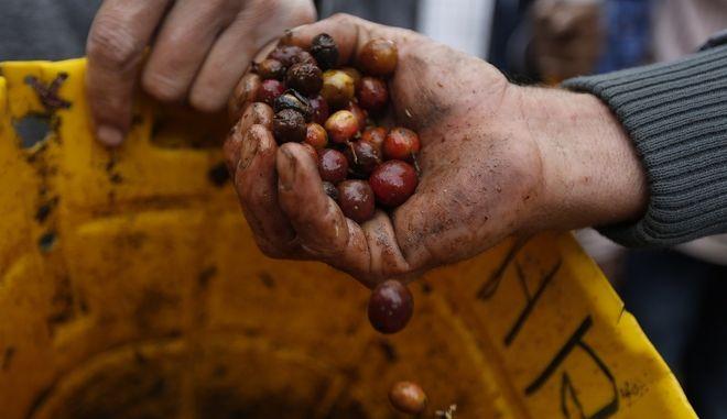 Συγκομιδή της σοδειάς του καφέ στην Κολομβία