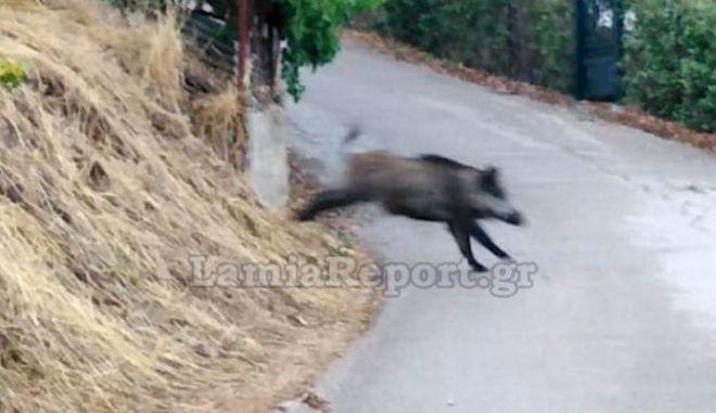 """Φθιώτιδα: Αγριογούρουνα """"κόβουν βόλτες"""" σε αυλές και δρόμους"""