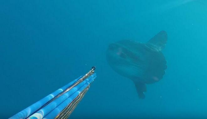 Φεγγαρόψαρο θηρίο τρομάζει ψαροντουφεκά στον Αγιόκαμπο Λάρισας