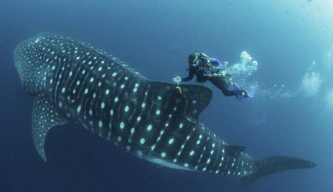 Λύνοντας το μυστήριο του μεγαλειώδους φαλαινοκαρχαρία