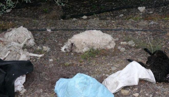 Δεκάδες σφαγιασμένα ζώα σε περιοχή της Κρήτης