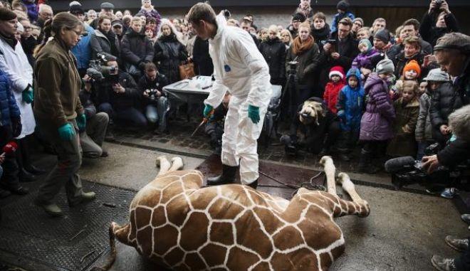 Παγκόσμια κατακραυγή: Εκτέλεσαν δημόσια καμηλοπάρδαλη επειδή δεν χώραγε στο πάρκο