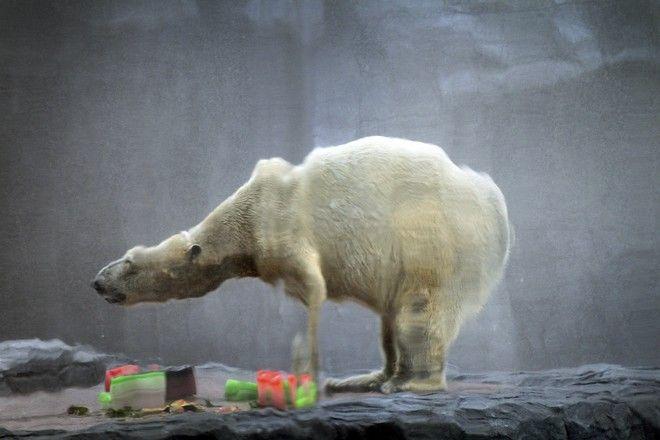 Η πολική αρκούδα γιορτάζει τα γενέθλιά της το 2013
