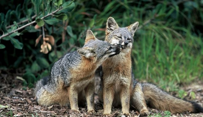 This undated photo provided by the U.S. Fish and Wildlife Service shows two island foxes in Channel Islands National Park, Calif. Three fox subspecies native to California's Channel Islands were removed from the list of endangered species Thursday, Aug. 11, 2016, in what federal officials have called the fastest recovery of any mammal listed under the Endangered Species Act. (Chuck Graham/U.S. Fish and Wildlife Service via AP)