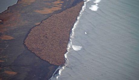 35.000 θαλάσσιοι ίπποι εγκλωβισμένοι σε ακτή της Αλάσκας