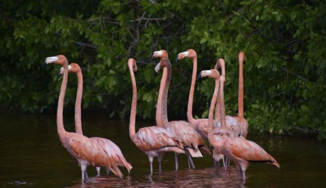 In this December 2016 photo, pink flamingos are seen in the waters of the Celestun biosphere park near Yucatan, where small boats can take tourists to about a hundred yards away from the colorful birds. A road trip through southeast Mexico, from Cancun through Campeche to Yucatan, offers a fun and sunny itinerary that includes beaches, Mayan sites and regional food specialties. (AP Photo/Amir Bibawy)