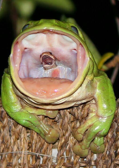 Απίστευτη φωτογραφία: Βάτραχος καταπίνει φίδι
