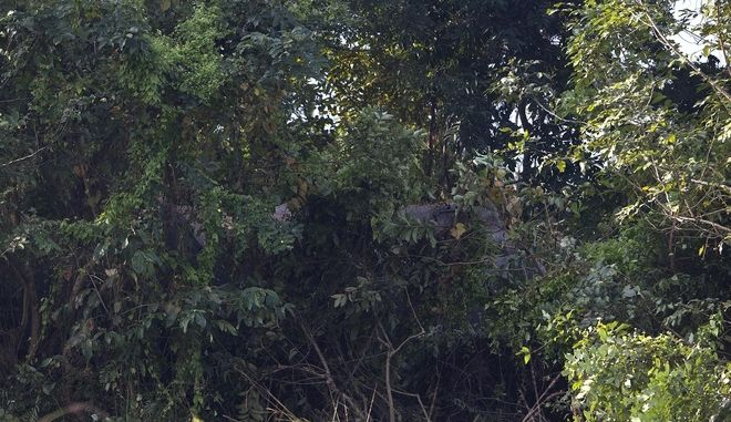 A herd of wild elephants hide behind trees in the jungle as villagers arrive to look the carcass of two endangered Asian elephants that were hit and killed by a passenger train near a railway track in Thakur Kuchi village on the outskirts of Gauhati, Assam state, India, Sunday, Nov. 19, 2017. Wildlife warden Prodipta Baruah says the dead elephants were part of the herd of about 15 that had ventured into the area in search of food before dawn Sunday. (AP Photo/Anupam Nath)