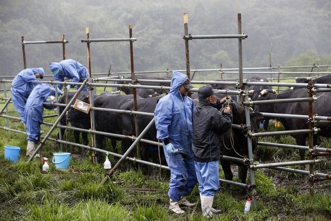 In this Aug. 27, 2016, photo, members of the Society for Animal Refugee & Environment post Nuclear Disaster withdraw blood from cows for a medical check-up at Komaru Ranch in Namie town, 12 kilometers (7.5 miles) north of Japan's crippled Fukushima Dai-ichi nuclear power plant. Ranchers who refused a government order to kill their cows continue to feed and tend about 200 of them as part of a study by the researchers. They visit every three months to test the livestock living within a 20-kilometer (12-mile) radius of the Fukushima plant, where three reactors had core meltdowns after it was swamped by a tsunami in 2011. (AP Photo/Shizuo Kambayashi)