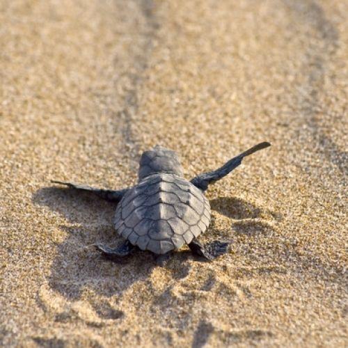 Χελώνα καρέτα - καρέτα