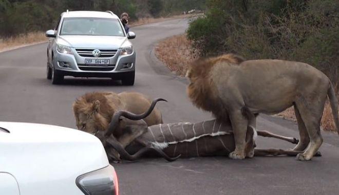 Βίντεο: Λιοντάρια ξεπηδούν από θάμνο, σε κεντρικό δρόμο και σκοτώνουν μια αντιλόπη!