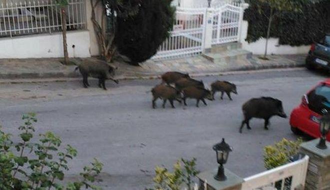 Aγριογούρουνα 'κόβουν' βόλτες σε δρόμους της Θεσσαλονίκης