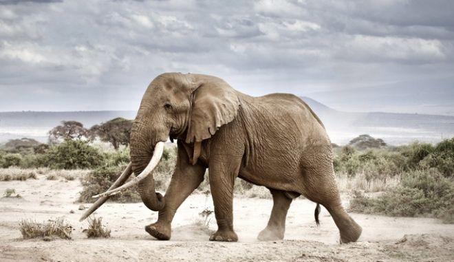 Πέθανε ο Τιμ, ένας από τους τελευταίους ελέφαντες με τεράστιους χαυλιόδοντες