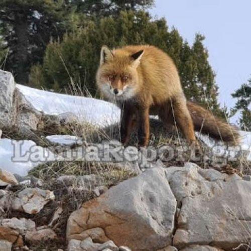 """Παρνασσός: Αλεπού """"μοντέλο"""" ποζάρει στο φακό"""