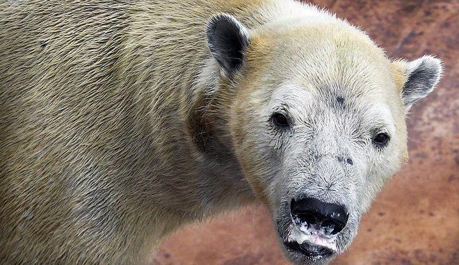 Η πρώτη πολική αρκούδα που γεννήθηκε σε τροπική χώρα
