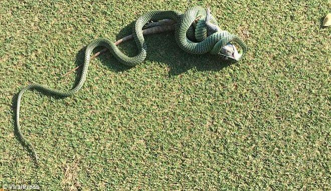 Η συγκλονιστική στιγμή που φίδι καταπίνει ιγκουάνα