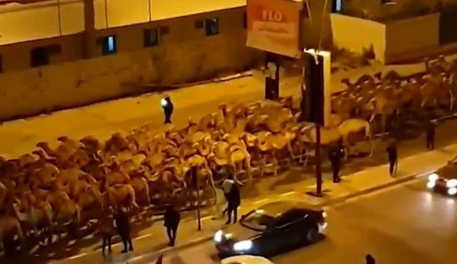 Λιβύη: Εκκενώνεται η Τρίπολη από 3.000 καμήλες