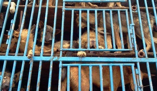 Εικόνες σοκ από στοιβαγμένα σκυλιά που μετέφεραν για σφαγή
