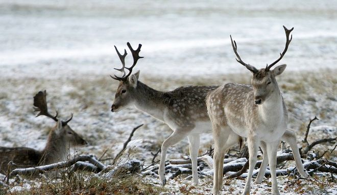 A group of Fallow Deer (Dama dama) bucks are seen in a snow-dusted field in Richmond Park, west London, Friday, Dec. 17, 2010. A wave of snow and icy weather was also causing travel problems across Britain, with trains canceled, schools shut and cars sliding on icy roads. (AP Photo/Akira Suemori)