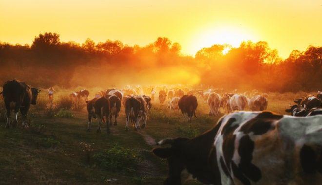 Είσαι πολύ ηθικός για να τρως κρέας. Αλλά πρέπει να εξαφανιστούν οι αγελάδες;