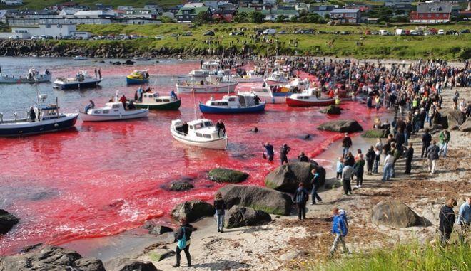 Νησιά Φερόε: Οργή για τη μεγαλύτερη σφαγή δελφινιών - Σκότωσαν 1.428 ζώα