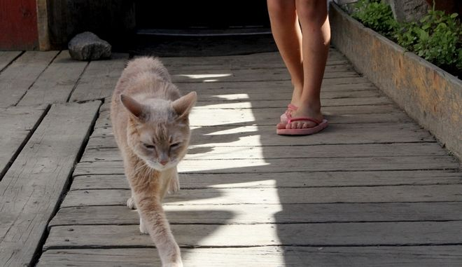 FILE - In a May 29, 2016 file photo, Stubbs, the honorary feline mayor of Talkeetna, Alaska, walks out of the West Rib Bar and Grill. Stubbs was found dead by his owners Friday, July 21, 2017, at the age of 20. Talkeetna, a town with a population of about 900, elected the yellow cat mayor in a write-in campaign in 1998. There is no human mayor in the town. (AP Photo/Mark Thiessen, File)