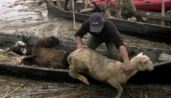 Διάσωση προβάτων στη Ρουμανία (φωτογραφία αρχείου)