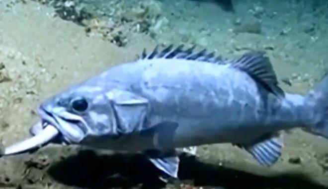Σπάνιο στιγμιότυπο: Ροφός καταβροχθίζει καρχαρία