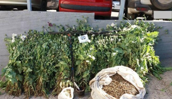 Φυτεία με οπιούχες παπαρούνες εντόπισαν οι αρχές στη Βοιωτία