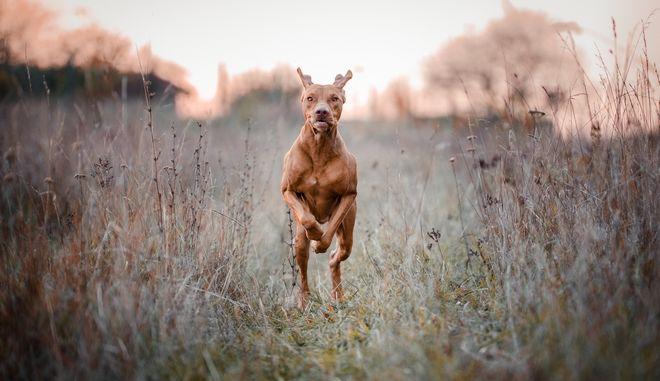 Κυνηγόσκυλο