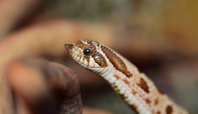 Φίδια στην Ελλάδα: Ποια είναι επικίνδυνα-Τι να κάνετε αν σας δαγκώσουν