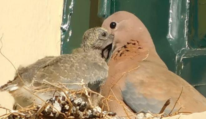 """""""Φοινικοτρύγονο"""": Νέο είδος αναπαραγόμενου πουλιού έφτασε στη Μυτιλήνη"""