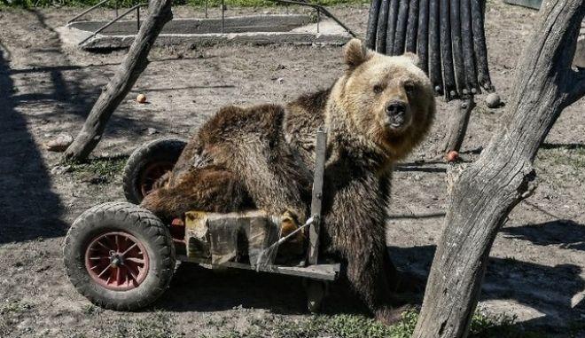 Πέθανε ο Ούσκο, το πρώτο αρκουδάκι στον κόσμο με αναπηρικό αμαξίδιο