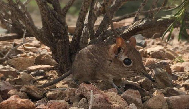 Εντοπίστηκε ξανά μικροσκοπικό θηλαστικό, χαμένο για πάνω από 50 χρόνια