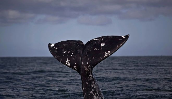 Φάλαινα (φωτογραφία αρχείου)