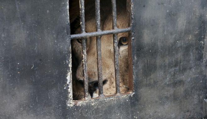 Λιοντάρι σε κλουβί.