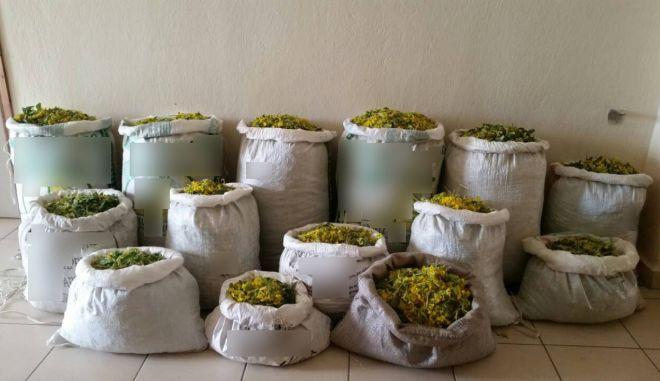 Τα σακιά με τα 132 κιλά φαρμακευτικών βοτάνων από το Γράμμο