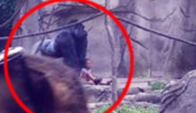 Οργή για τη θανάτωση γορίλα όταν 4χρονος έπεσε στο κλουβί του