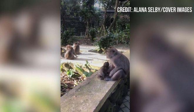 Απολαυστικό βίντεο: Σκανταλιάρικο πιθηκάκι προσπαθεί μάταια να ξεφύγει από τη μαμά του