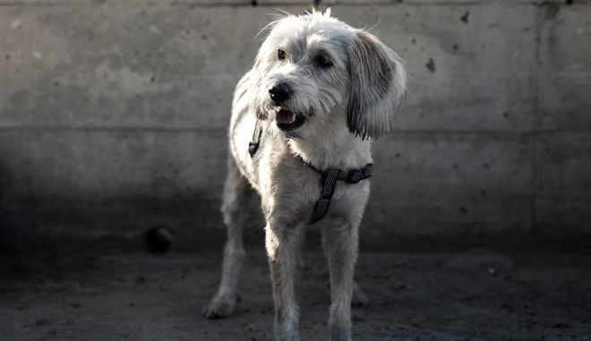 Το σκυλί που κατάφερε να βγει μέσα στο αυτοκίνητο που έπεσε στην θάλασσα στον Μώλο Δραπετσώνας