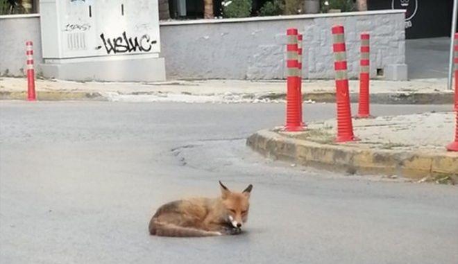 Αλεπού σε δρόμο της Αγίας Παρασκευής